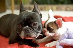 0202_French-bulldog-puppies-0209_0107-1024x682